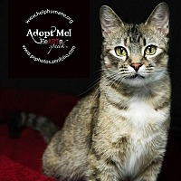 American Shorthair Cat for adoption in Belton, Missouri - Tina
