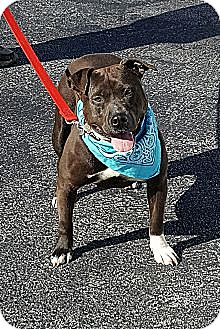 American Pit Bull Terrier Dog for adoption in Sussex, New Jersey - Gertrude I <3 to travel!!!