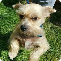 Adopt A Pet :: Cinnamon (WY) - Kingston, NY