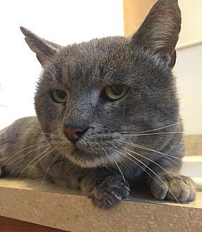 Domestic Shorthair Cat for adoption in Saint Clair, Missouri - Felix