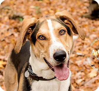 Treeing Walker Coonhound/Catahoula Leopard Dog Mix Dog for adoption in Cincinnati, Ohio - Doug $14