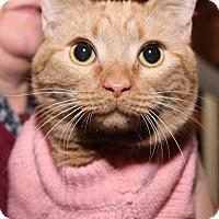Adopt A Pet :: Ginger Snap - Media, PA