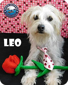 Maltese/Jack Russell Terrier Mix Dog for adoption in Arcadia, Florida - Leo