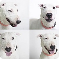 Bull Terrier Mix Dog for adoption in Camarillo, California - MARLEY