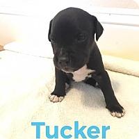 Adopt A Pet :: Tucker - ROSENBERG, TX