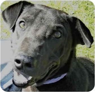 Greyhound Mix Dog for adoption in Charleston, Arkansas - Alex Greyhound