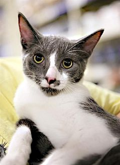 Domestic Shorthair Cat for adoption in Fairfax Station, Virginia - Jason