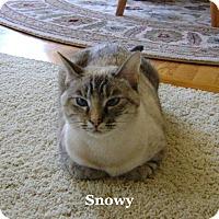Adopt A Pet :: Snowy - Bentonville, AR