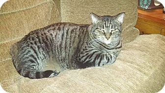 Domestic Shorthair Cat for adoption in Harriman, New York - Puck