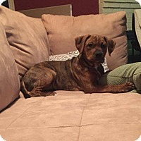 Adopt A Pet :: Runt - Westminster, MD