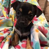 Adopt A Pet :: Tansy - Chicago, IL