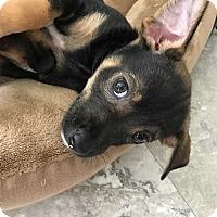Adopt A Pet :: Manchester - Allen, TX