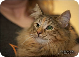 Domestic Shorthair Cat for adoption in St. Louis, Missouri - Ursula