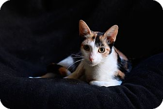 Calico Cat for adoption in Irvine, California - COLORS