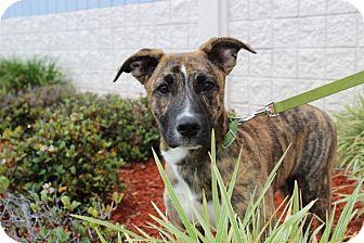 Bull Terrier/German Shepherd Dog Mix Puppy for adoption in Gainesville, Florida - Fisher
