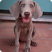 Adopt A Pet :: LOLLIPUP - Albuquerque, NM