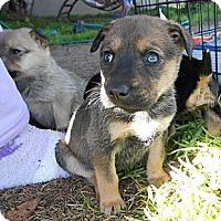 Adopt A Pet :: TANYA - Torrance, CA