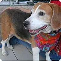 Adopt A Pet :: Sadie Hawkins - Phoenix, AZ