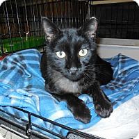 Domestic Shorthair Cat for adoption in Whiting, Indiana - Midnight
