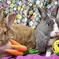 Dutch Mix for adoption in Erie, Pennsylvania - Winston