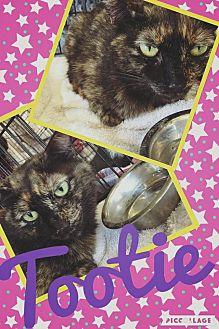 American Shorthair Cat for adoption in Scottsdale, Arizona - Tootie