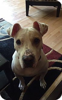 Boxer/Pit Bull Terrier Mix Dog for adoption in Marlton, New Jersey - Deena
