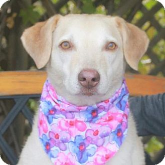 Labrador Retriever/Chesapeake Bay Retriever Mix Dog for adoption in Garfield Heights, Ohio - Lizzie