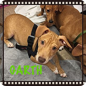 Dachshund Puppy for adoption in Tempe, Arizona - Doxie