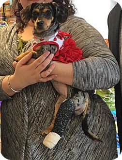 Dachshund Mix Dog for adoption in Bay Shore, New York - Wilma