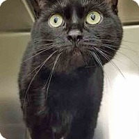 Adopt A Pet :: Nebula - Downers Grove, IL