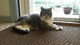 Domestic Shorthair Cat for adoption in Queenstown, Maryland - Lucy