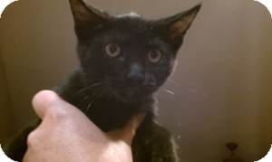 Domestic Shorthair Kitten for adoption in Gilbert, Arizona - Leila