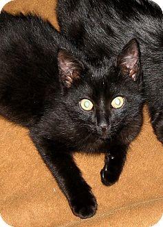 Domestic Shorthair Kitten for adoption in Brooklyn, New York - Frank