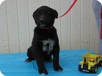 Feist/Australian Cattle Dog Mix Puppy for adoption in Humboldt, Tennessee - Phoenix