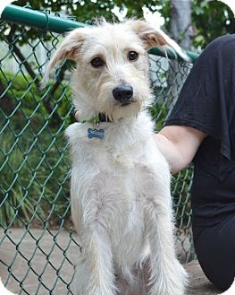 Terrier (Unknown Type, Medium)/Spaniel (Unknown Type) Mix Puppy for adoption in Los Angeles, California - Scarlet