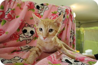 Domestic Shorthair Kitten for adoption in Fountain Hills, Arizona - RC