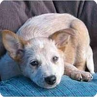 Adopt A Pet :: Trevor - Phoenix, AZ