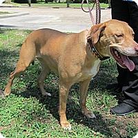 Adopt A Pet :: Kayla - Kingwood, TX
