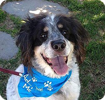 English Setter/English Springer Spaniel Mix Dog for adoption in Canoga Park, California - Lennie