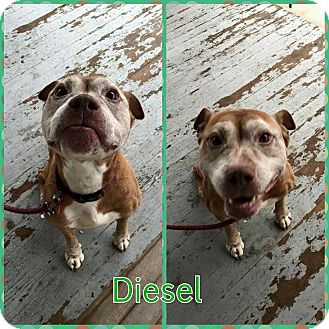 American Staffordshire Terrier Mix Dog for adoption in bridgeport, Connecticut - Diesel