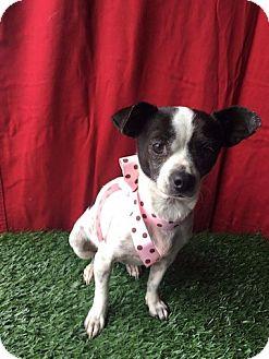 Chihuahua Mix Dog for adoption in Corona, California - DAISY