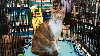 Calico Cat for adoption in Houston, Texas - Chloe