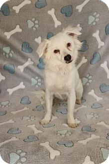 Spaniel (Unknown Type) Mix Dog for adoption in Yucaipa, California - Snowflake