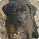 Adopt A Pet :: Brigid