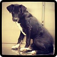 Labrador Retriever Mix Puppy for adoption in Grand Bay, Alabama - Daisy