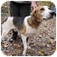 Photo 2 - Treeing Walker Coonhound Dog for adoption in Chesterfield, Virginia - Scott