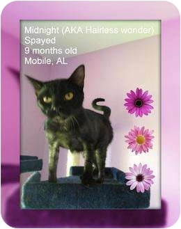 Domestic Shorthair Cat for adoption in Mobile, Alabama - Midnight