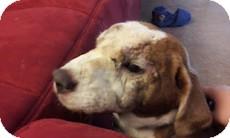 Beagle/Shar Pei Mix Dog for adoption in Wilmington, Massachusetts - Rusty