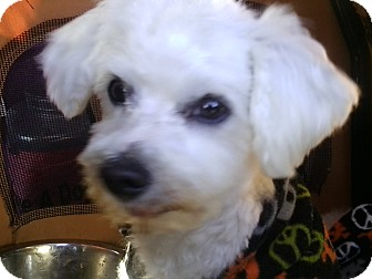 Maltese Dog for adoption in Farmingtoon, Missouri - Guido