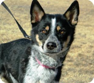 Siberian Husky/Blue Heeler Mix Dog for adoption in Cheyenne, Wyoming - Hanna